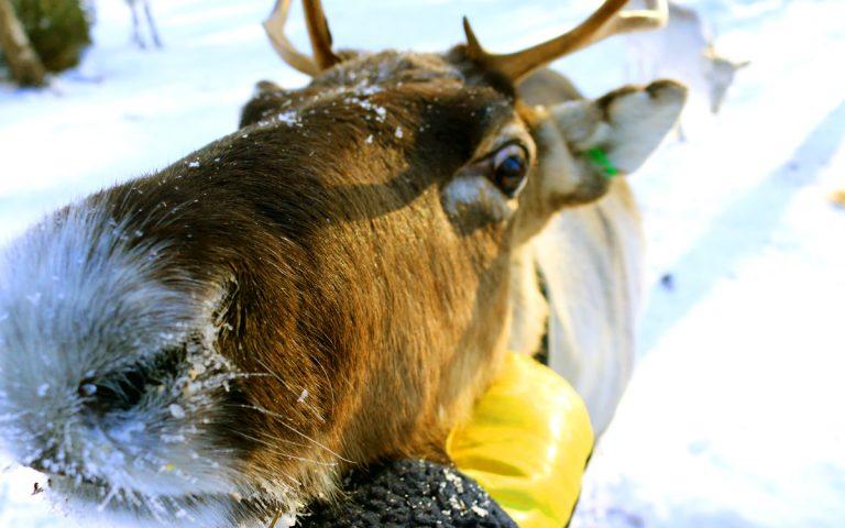 The reindeer experience